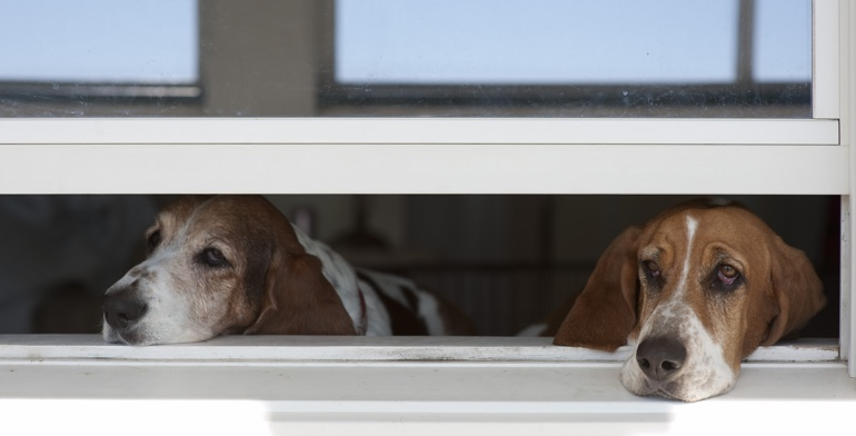 Dogs look out open window with no window treatment in Boston.
